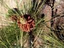 Sosna kanaryjska, rośnie pow. 1000 m. n.p.m., długość igieł dochodzi do 30cm.